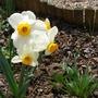 Narcissus Geranium (Narcissus tazetta)
