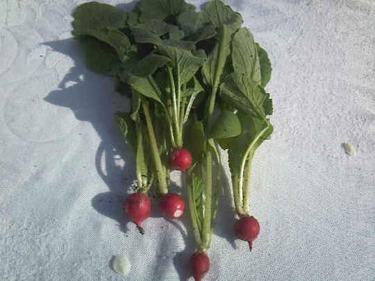 First crop of 2009 (Armoracia rusticana (Horse Radish))