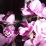 african violet blooms (Saintpaulia ionantha)