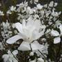 Magnolia in full bloom (Magnolia Loebneri Merril)