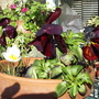 Crocus__White__in_pot_on_balcony_2009-02-21_006.jpg (crocus chrysanthus)