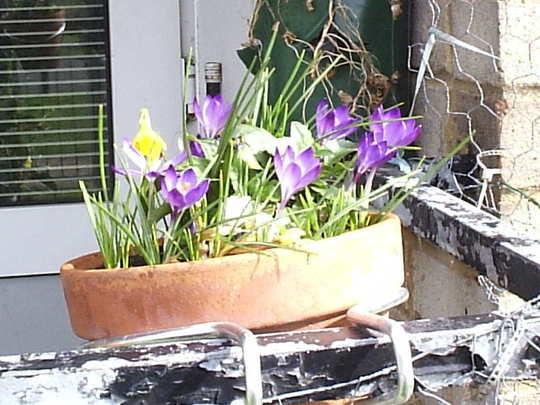 Crocuses_on_balcony_2009-03-11_004.jpg
