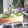 Crocuses_on_balcony_2009-03-11_004.jpg