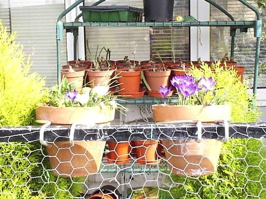 Crocuses_on_balcony_2009-03-11_006.jpg