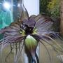 bat plant in bloom (Tacca chantrieri)