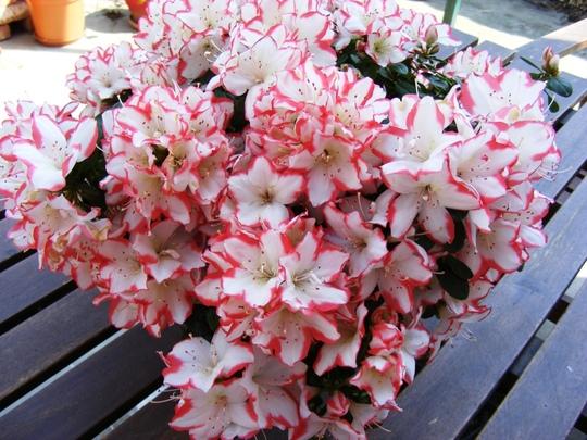 Azalia (Rhododendron ponticum (Azalia))