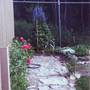 bushland delphiniums (Delphinium elatum)