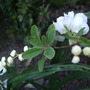 Exochorda 'The Bride' (Exochorda x macrantha (Pearl bush) 'The Bride')
