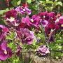 Pansies_24-05-08.jpg (Viola x wittrockiana)