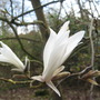 Magnolia salicifolia (Willow-leaved magnolia) (Magnolia salicifolia (Willow-leafed magnolia))