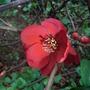 Chaenomeles_superba__Cardinalis_.jpg (Chaenomeles japonica)