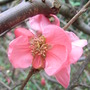 Chaenomeles_x_superba__Pink_Lady_.jpg (Chaenomeles japonica)