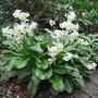 Erythronium_californicum_white_beauty_2009