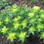 Euphorbia_polychroma_2009