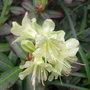 Rhododendron_princess_anne_2009