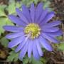 mutant (Anemone blanda (Anemone))