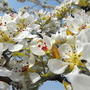 Close Up Of Pear Tree Blossom