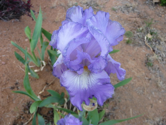 Lavendar Iris