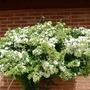 Pyracantha In Spring Dress