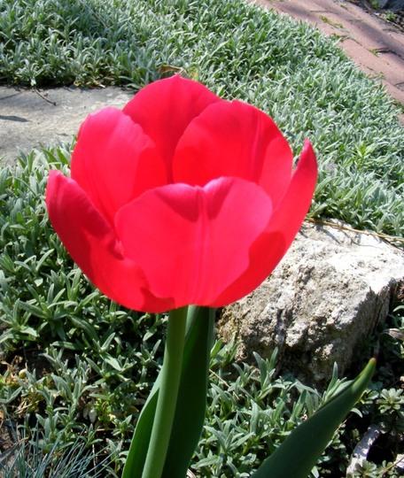 Tulipa Antwerpen (Tulipa Antwerpen)