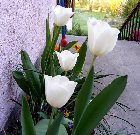 Tulipa City of Vancouver (Tulipa City of Vancouver)