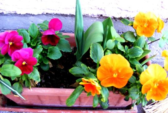 Cheerful pansies on my terrace (Viola)