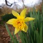 Daffodil (Narcissus cantabricus (White Hoop-petticoat Daffodil))
