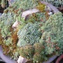 Saxifraga paniculata, and some others (Saxifraga aizoides (Evergreen Saxifrage))