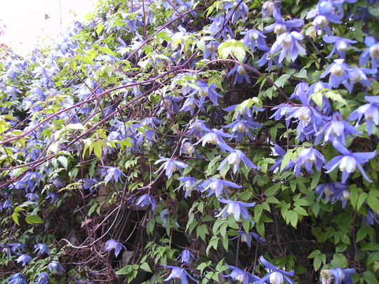 "Clematis Macropetela ""Blue Bird""."