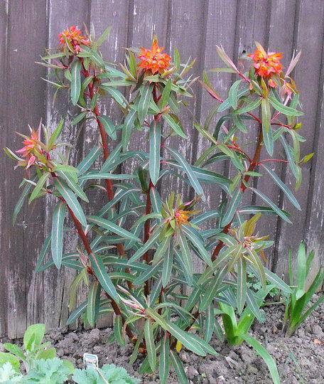 Fire Glow Spurge  (Euphorbia griffithii (Spurge))