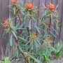 Fire Glow Spurge  (Euphorbia griffithii (Spurge))