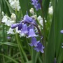 English bluebells - for Jacque! (Hyacinthoides non-scripta (Bluebell))