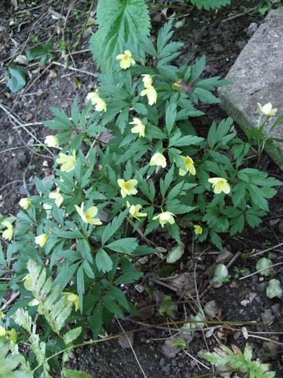 Anemone ranunculoides (Anemone ranunculoides)