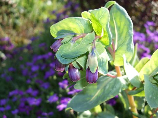 Cerinthe (Cerinthe major (Honeywort))