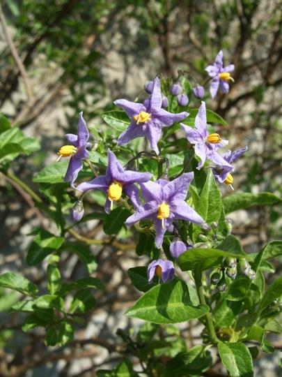 Solanum crispum 'Glasnevin' (Solanum crispum (Chilean potato tree)'Glasnevin')