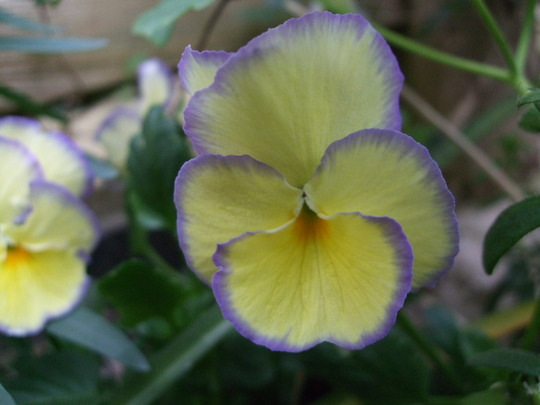 Viola 'Rebecca' (Viola tricolor)
