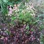 Lophomyrtus_lathyrus_vernus