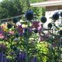 Echinops ritro, liatris, asiatic lilies.