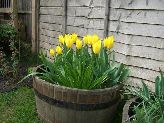 Tub of Tulips