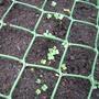 Italian broccoli seedling