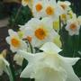 Mixed Narcissus - April 2009