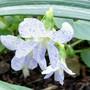 Just sooooooo pretty (Viola sororia (White Woolly Violet))