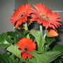 Orange Red African daisy