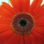 Close up of the African Daisy