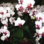 Purple and white orchid at National Orchid Garden (doritaenopsis)