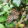 Speckled Wood Butterfly. (Pararge aegeria.)