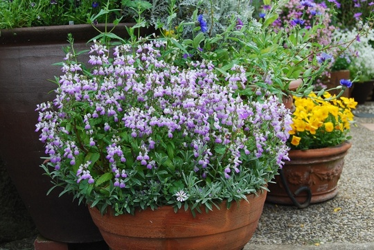 Chinese house  (Collinsia bicolor)