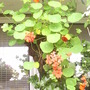 Hanging_basket_conical_on_balcony_08_09_08_001