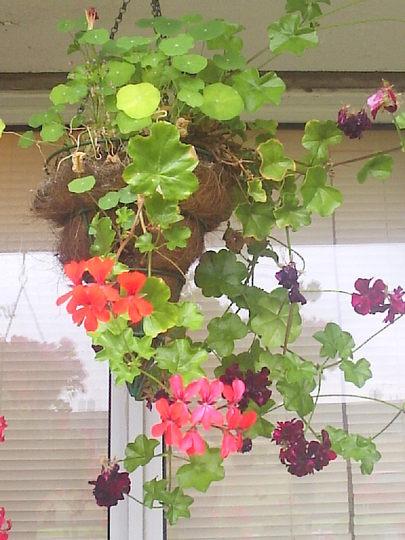 Hanging_basket__Conical__on_balcony__02-08-08_001.jpg