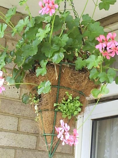 Ivy_leaf_Geranium__Pink_23-06-06.jpg